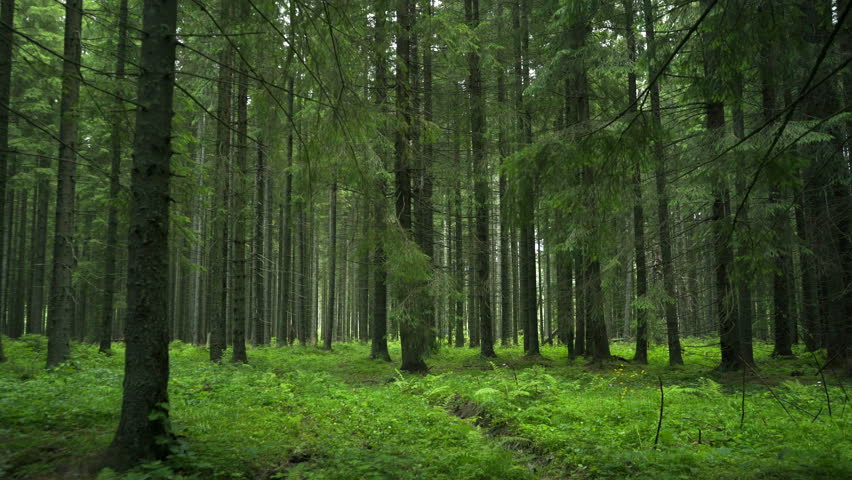 Green Forest. Pine Trees Fairy Forest. Untouched spruce.Elf land. Forest pattern. Camera movement inside the forest. Moths and fir with moos on the ground