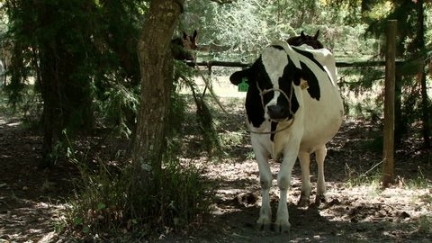 Friesian dairy cow stands in the shade on an estancia near Montevideo, Uruguay