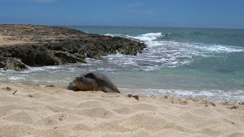 Turtle sunbathing on a beach in Hawaii