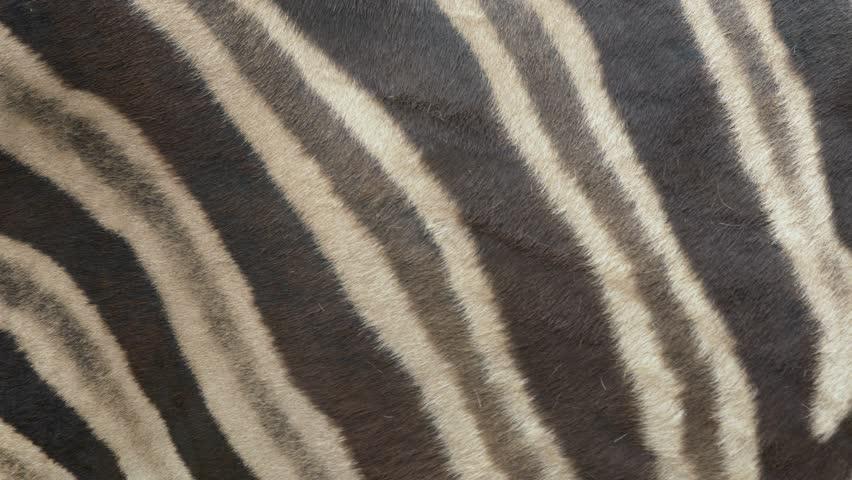 Chapman's zebra (Equus quagga chapmanni) fur | Shutterstock HD Video #29232490