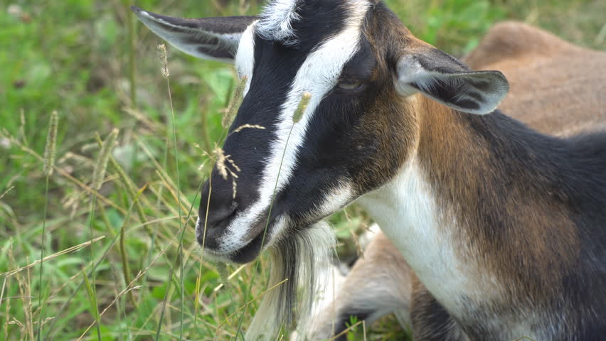 The goat chews , posing and meditating on the lawn  | Shutterstock HD Video #29262820