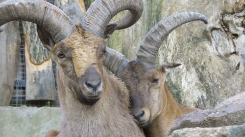 Male and female Turkmenian markhor (Capra falconeri heptneri) resting on rocks