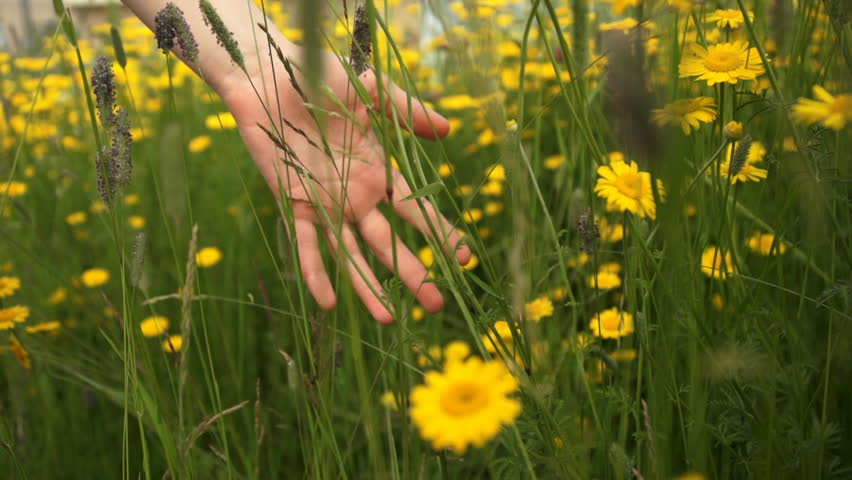 A close-up shot of a woman running her hand through meadow with Cota tinctoria and field grasses on a summer day.
