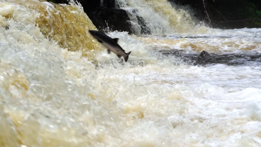 Sockeye Salmon (Oncorhynchus nerka) jumping a waterfall obstruction on Alaskan river. Heavy rains, mean more water, the salmon use this to their advantage to navigate upstream. Slow-motion 25% normal.