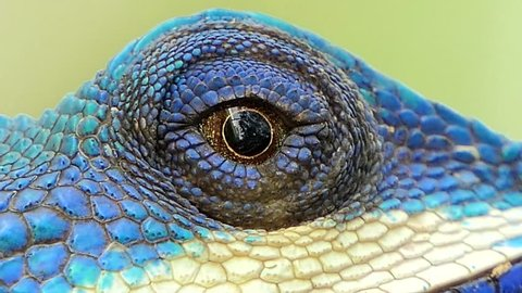 Eye of lizard (Blue-crested Lizard) on the tree in tropical rain forest.