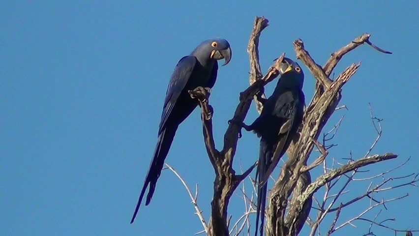 A pair of Hyacinth macaws spread their wings on top of a dry tree, Pantanal wetlands, Brazil.