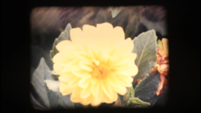 Vintage 8mm. Close up of colourful flowers