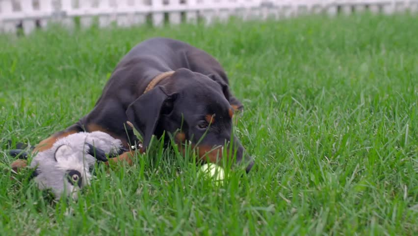 A doberman puppy playing with a tennis ball in grass. - HD stock video clip