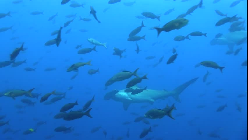 Scalloped hammerhead shark (Sphyrna lewini) around cleaning station.