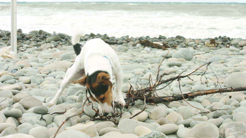 Small dog breed Jack Russell Terrier chewing on a stick on the beach.