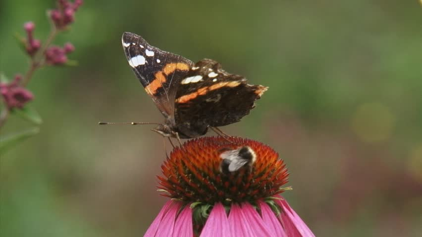 Red Admiral (Vanessa Atalanta) butterfly and honeybee feed on nectar of echinacea purpurea