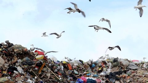 Trash and garbage  Description: Seagulls on landfill