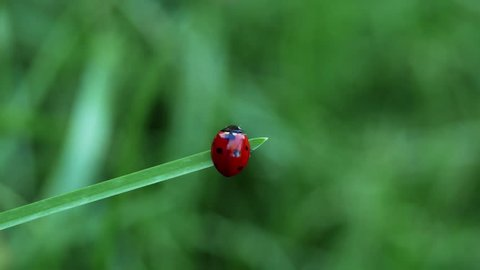 Macro shot of a seven spot red ladybird (Coccinella septempunctata) walking on a blade of grass.
