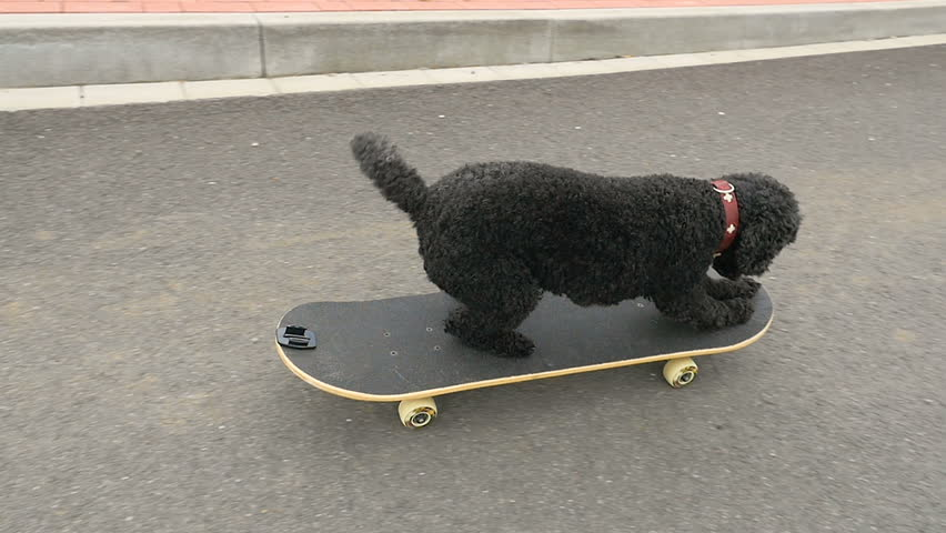 Dog is driving with skateboard, slow motion, 100 fps