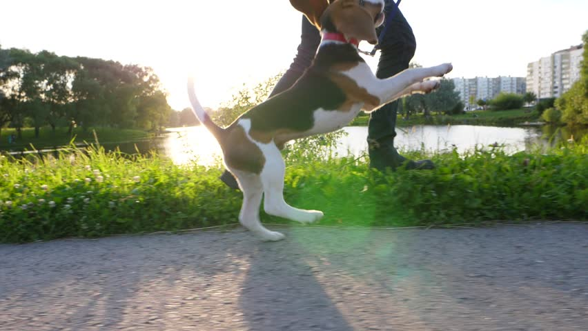 Bouncy young dog run with owner, have happy walk at sunny evening hour, slow motion slide shot. Beagle puppy leap up again and again, try to catch leash by jaws. Funny long ears fly in air