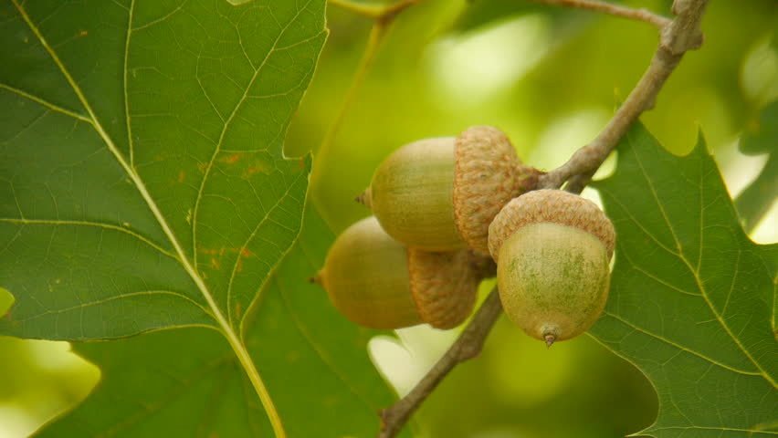 Acorn on the oak.
