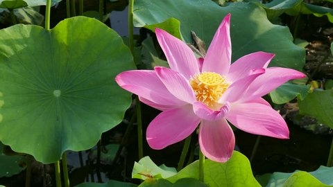 The Lotus Flower. Background is the lotus leaf and lotus flower and lotus bud