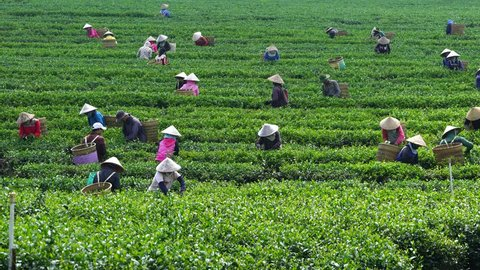 Bao Loc, Vietnam - August 13, 2017: Unidentified workers harvesting tea leaves at plantation in Bao Loc, Vietnam. Bao Loc is one of the best destination city in Vietnam.
