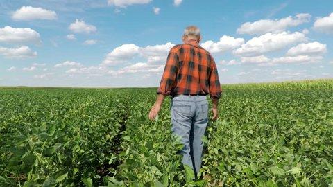 Senior farmer walking in field and examining soybean crop.