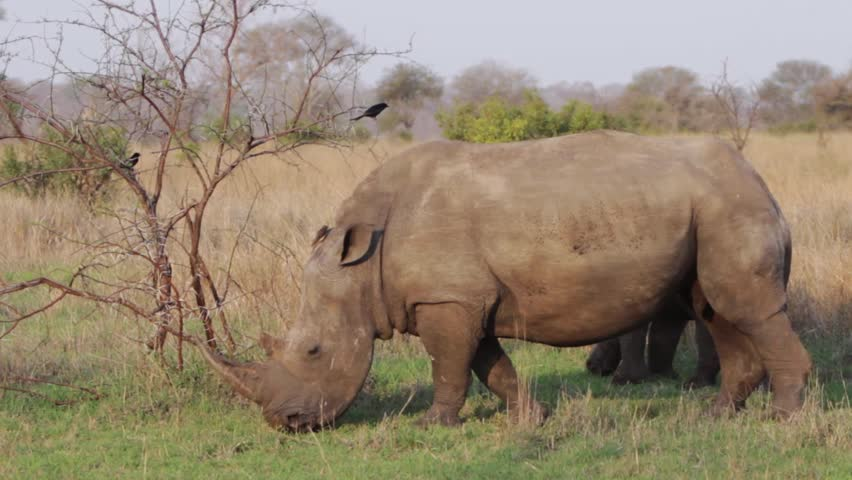 Rhino and kid grazing close up