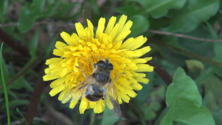 Bee Pollinating a Mountain Flower, Macro, Bee Pollinating a Dandelion