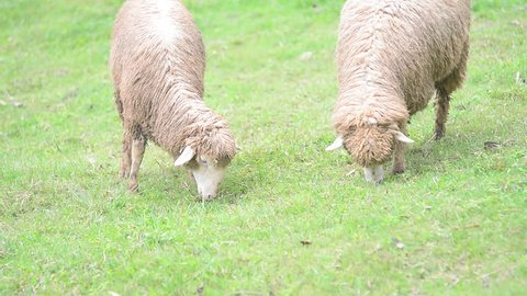 Sheep is eating grass walking on green pasture.