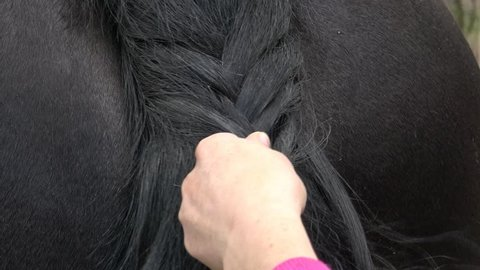 Friesian horse tail with braid. Close up of female hands grooming horse on the ranch.
