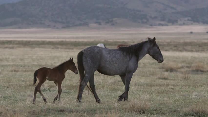 Mother horse walks through pasture as foal follows along side in herd. | Shutterstock HD Video #30102460