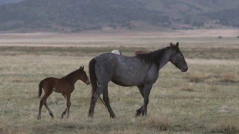 Mother horse walks through pasture as foal follows along side in herd.
