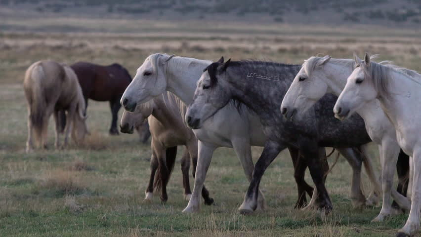 Group of horses walking together then stopping at the same time in slow motion. | Shutterstock HD Video #30102490