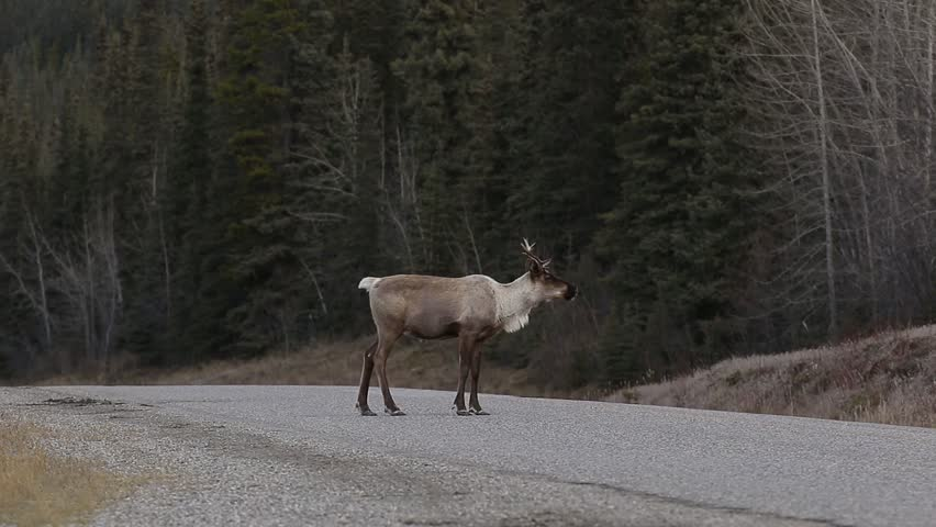 Caribou walking on Alaska Highway