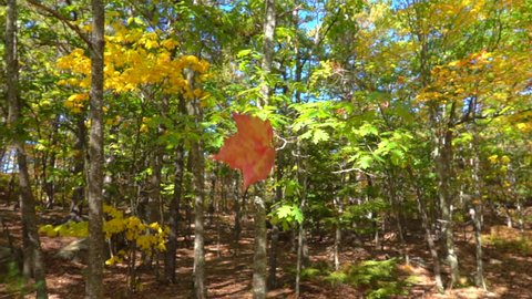 SLOW MOTION CLOSE UP: Red fall foliage falling off in autumn forest on sunny day. Red maple leaf falling slowly towards the ground in sunny fall. Colorful autumn trees shedding their leaves in fall