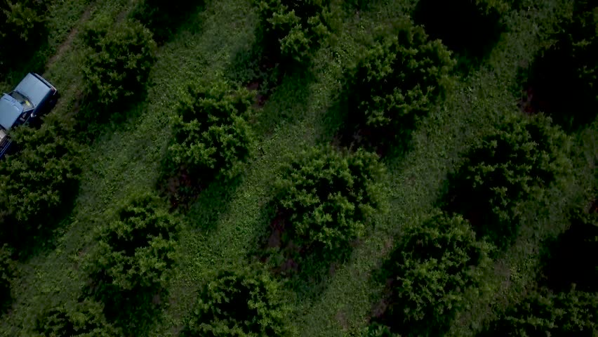Aerial view of people picking peaches in a peach orchard with a tractor and cart in center.  Rows of peach and plum | Shutterstock HD Video #30215197