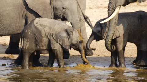A herd of Elephants drinking water from the Okavango Delta and two baby Elephants eating fresh feces to obtain nutrients.