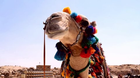 Decorated camel at Desert Festival in Cairo, Egypt near the pyramids of Giza- Close up low angle shot.