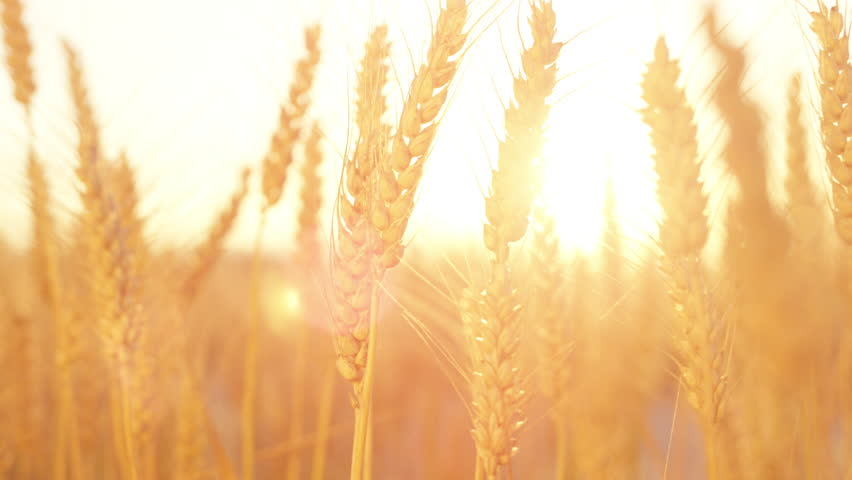 SLOW MOTION CLOSE UP DOF Glow of sunset on beautiful vast yellow field of ripe wheat plants in Tuscany, Italy. Ripe seeds in dry wheat heads on big field in idyllic countryside at golden light sunrise