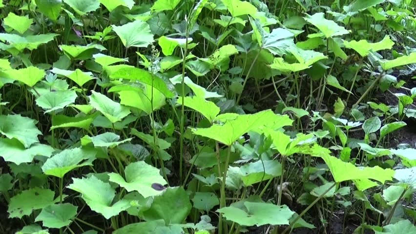 Panorama of coltsfoot leafs. Motion camera of medicinal plant HD video footage.