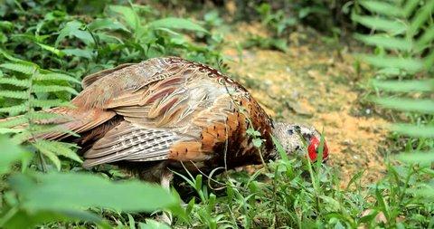Rothschild peacock pheasant