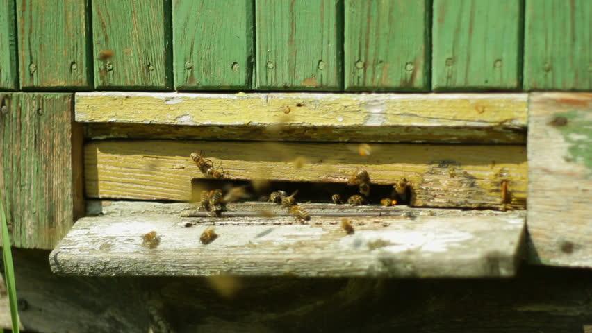 Group of honeybees flying into a beehive