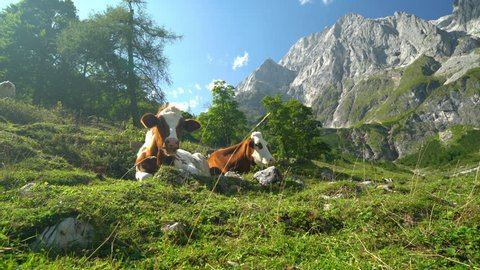 4k animal cinemagraph two happy cows resting on pasture in mountains on sunny summer day, one looking at camera
