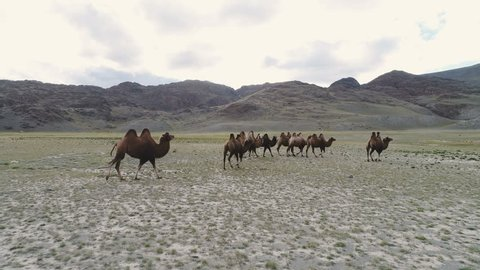 Group of camels being herded over sand dunes in the Arabian desert 4k slow motion.