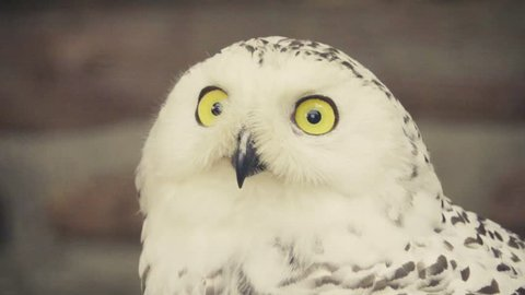 snowy owl (Bubo scandiacus or Nyctea scandiaca), yellow-eyed, black-beaked white bird. Slow motion 250 FPS male is virtually pure white, but females and young birds have some dark spots