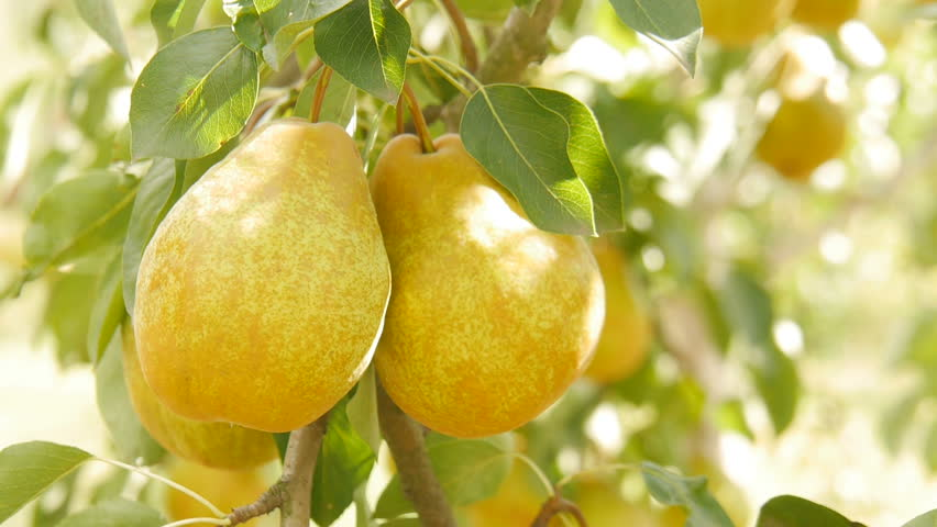 Pears in the garden.