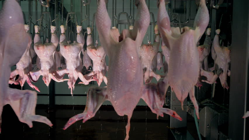 Several rows of chicken carcasses move in front of each other.