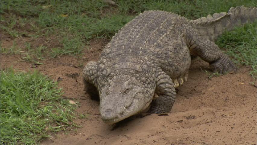 Crocodile walking to the water | Shutterstock HD Video #3058000