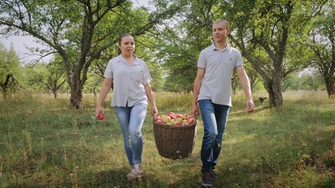 A man and a woman are carrying a full basket of apples in the apple orchard. Harvesting apples in the apple orchard. Farmers carry a full basket of apples
