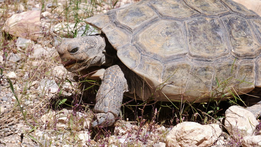 A desert tortoise (Gopherus agassizii) in Red Rock Canyon National Conservation Area near Las Vegas | Shutterstock HD Video #30628555