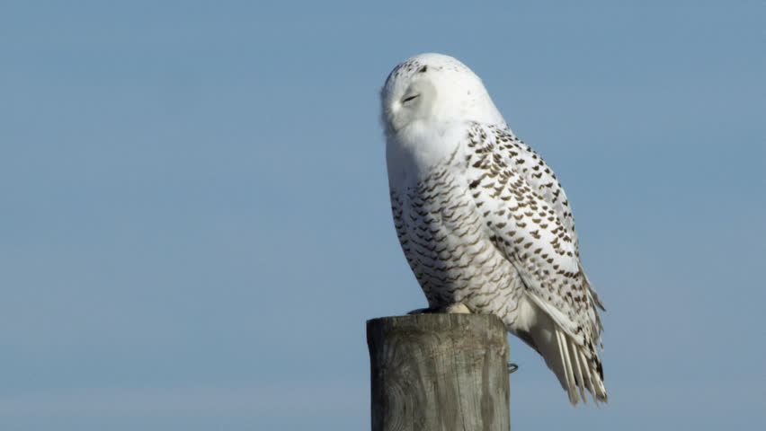 WS Snowy Owl (Bubo scandiacus) perching on wooden post