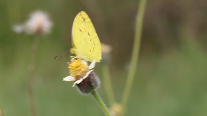 Close up of small grass yellow (Eurema brigitta) butterfly feeding on flower