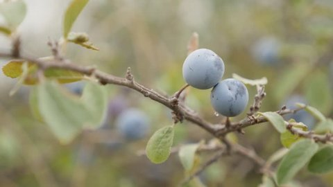 Blackthorn sloe shrub natural food slow-mo 1080p FullHD footage - Tiny blue berries of Prunus spinosa fruit slow motion 1920X1080 HD video